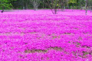 人生の楽園 芝桜